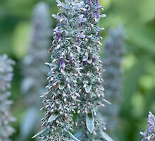 Lambs Ear -  Stachys byzantina by jules572