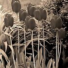sepia tulip clump by dedmanshootn