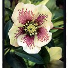 Lenten Rose by Barbara Wyeth