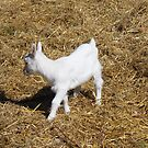 White Baby Goat by WeeZie
