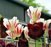 Urban Tulips by Carol Bleasdale