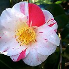 Camellia Show-off by hootonles