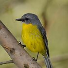 Yellow Robin. by James Peake Nature Photography.
