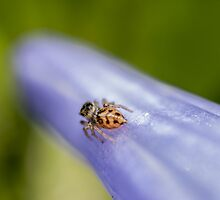 Macro Jumping Spider by axemangraphics