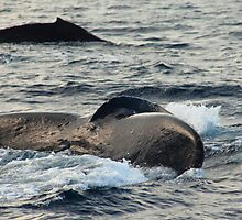 Humpback whales by zumi