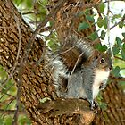Western Grey Squirrel In A Tree by Diana Graves Photography