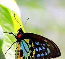 Butterfly by jimrac