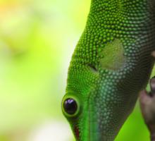 Lizard In A Tree Sticker