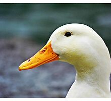 White Duck by Ross Jones