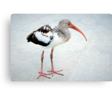 Juvenile white ibis Canvas Print