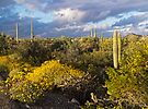 Setting Sun at Organ Pipe Cactus National Monument by Lucinda Walter