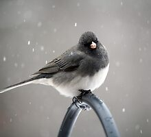 March Snow 1 - Jolly Junco by WalnutHill