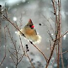 March Snow 1 - Female Northern Cardinal by WalnutHill