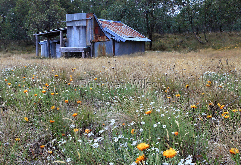 Kellys hut in a field of flowers .Snowy Plain  by Donovan wilson