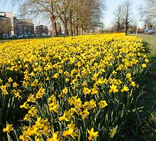 Daffodils   by Jim Hellier