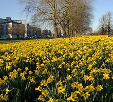 Daffodils in Spring by Jim Hellier
