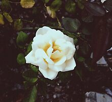 Roses by ImogenMosher