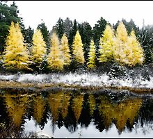 First Snow on Larches by Wayne King