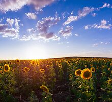 Clifton, Sunflower Fields by McguiganVisuals