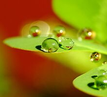 Water Droplets on a Leaf by Gabrielle  Lees