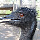 Emu by Steve Hunter