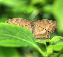 Butterfly on a Leaf Warming its Wings by Roger Passman