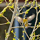 Springtime Mating Pair Of Lesser Goldfinches by Diana Graves Photography