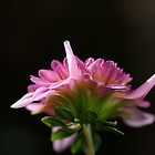 flower-dahlia-pink side by Joy Watson