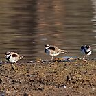 The Three Amigos - Black-fronted Dotterel by mosaicavenues