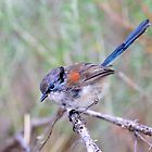 Blue-breasted Fairy-wren (Eclipse) taken at Coffin Bay SA by Alwyn Simple
