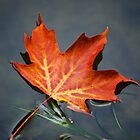 Red Sugar Maple Leaf by Christina Rollo