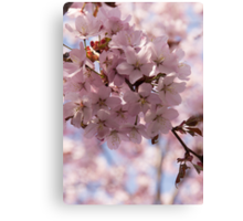 Pink Spring - Gently Pink Cherry Blossoms Canvas Print