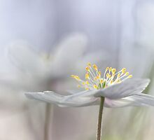 Addictive wood anemone.. by Bob Daalder