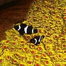 Clown Fish by Shellie Phipps