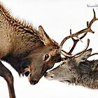The Rut - Wapiti by Yannik Hay