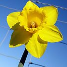 The Captive Daffodil by Barrie Woodward