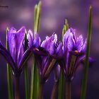 Iris Bokeh by KatMagic Photography