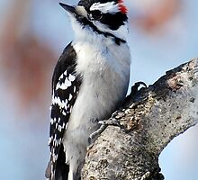 Woodpecker Tree Huggin' Nut Lover by Christina Rollo