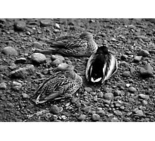 let sleeping ducks lie Photographic Print