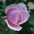 A Pink rose bud by DebbyScott