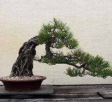 Japanese black pine bonsai by Kelly Morris