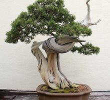 California juniper bonsai by Kelly Morris