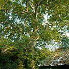 Old Walnut Tree by Elly190712