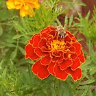 Hoverfly on the Marigold by Maree  Clarkson
