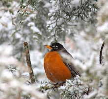 Robin Taking Shelter 2 by NatureGreeting Cards ©ccwri