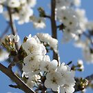 Cherry Blossom Branches Against Blue Sky by taiche