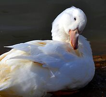 Pretty White Duck,..... by lynn carter
