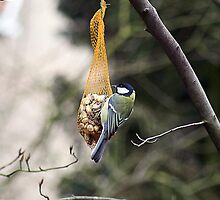 A Little Blue Tit by patjila