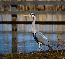 Grey Heron by Violaman