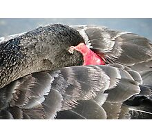 Black Swan Resting. Photographic Print